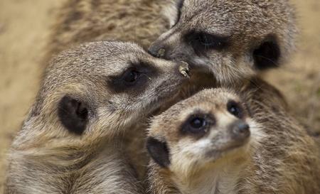 Meerkats close up Stock Photo - 13835878