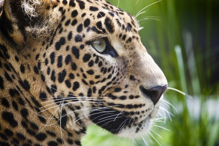 close-up of a beautiful Panther
