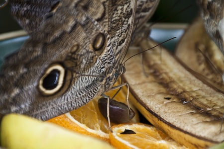 Yellow-Edged Giant-Owl butterfly on fruit Stock Photo - 13837694