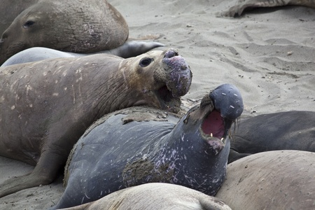 Elephant Seal Colony at San Simeon, USA photo