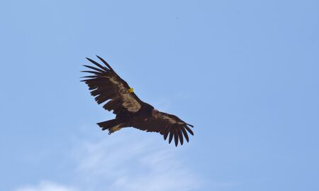 tagged: Critically Endangered California Condor in flight