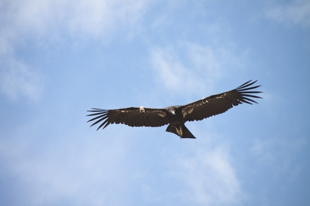 Critically Endangered California Condor in flight