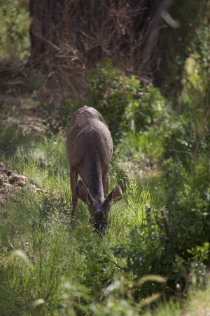 black tail deer: A mule deer  Odocoileus hemionus  in Zion National Park, Utah, USA