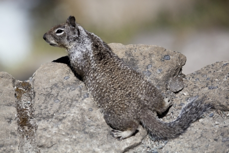Western Grey Squirrel in Yosemite National Park  photo