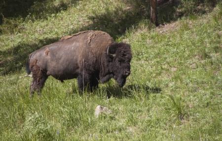 sagebrush: Bison in Grand Teton National Park Stock Photo