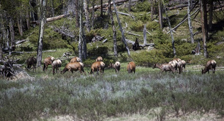 wapiti: Wapiti s in Rocky Mountains National Park Stock Photo