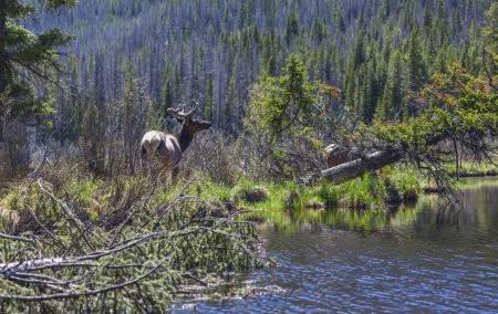 wapiti: Wapiti in a swamp Stock Photo