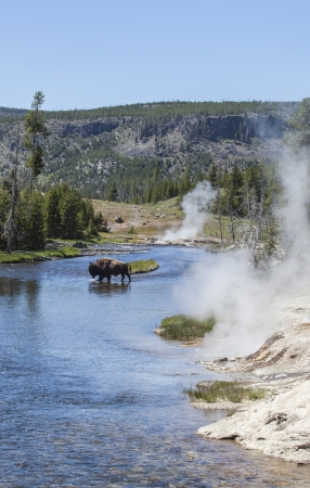 Bison in Yellowstone river, Upper Geyser Basin, Yellowstone National Park, Wyoming, USA photo