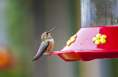 ruby throated: Kolibri in Olympic National Park, USA Stock Photo