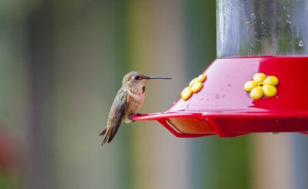 Kolibri in Olympic National Park, USA Stock Photo