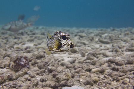 Smooth Trunk fish in Dutch Caribbean, Bonaire photo