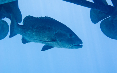 Black Grouper Under a Boat Stock Photo