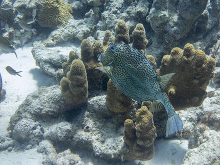 Honeycomb Cowfish, Dutch Caribbean, Bonaire photo