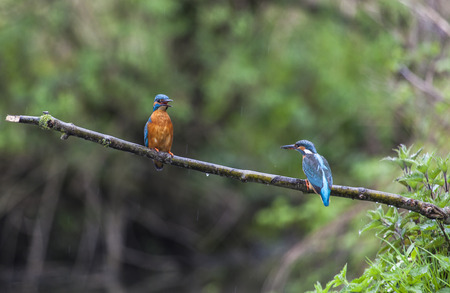 noord: Male and female Kingfisher on a twig, Biesbosch national park, Noord-Brabant, the Netherlands