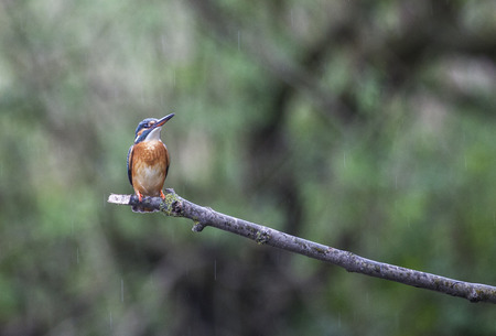 Kingfisher on a twig, Biesbosch national park, Noord-Brabant, the Netherlands Stock Photo