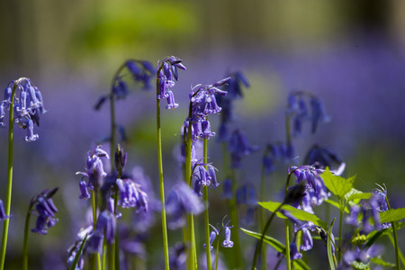 Bluebells close-up, Tranendal  teardrop valley , Hallerbos, Belgium photo