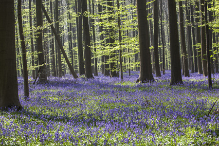 Bluebells, Tranendal  teardrop valley , Hallerbos, Belgium photo