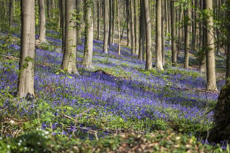 Bluebells, Tranendal  teardrop valley , Hallerbos, Belgium photo