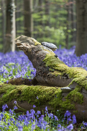Tree with mushrooms between Bluebells, Tranendal  teardrop valley , Hallerbos, Belgium photo