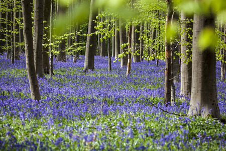 april flowers: Bluebells, Tranendal  teardrop valley , Hallerbos, Belgium