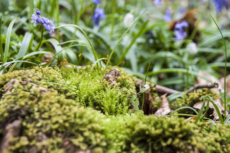 Bluebells and moss close-up, Tranendal  teardrop valley , Hallerbos, Belgium photo