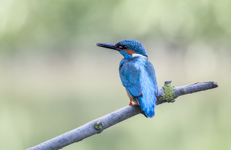 noord brabant: Kingfisher on a twig, Biesbosch national park, Noord-Brabant, the Netherlands Stock Photo