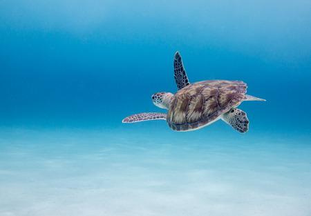 Green Sea Turtle  Chelonia mydas , Klein Curacao, Dutch Caribbean, Curacao