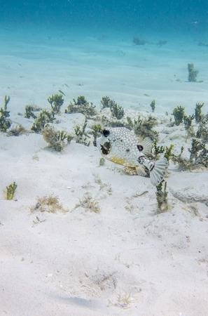 Smooth Trunkfish, Dutch Caribbean, Curacao photo