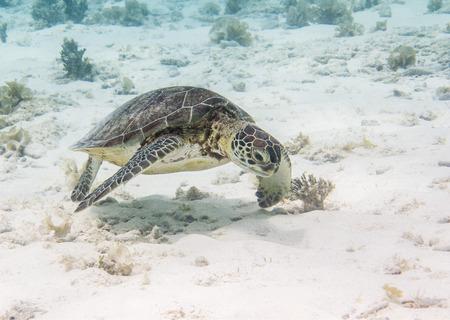 chelonia: Green Sea Turtle  Chelonia mydas , Klein Curacao, Dutch Caribbean, Curacao