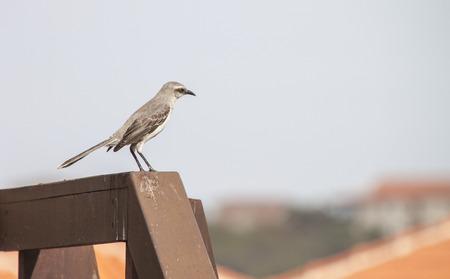 mockingbird: Tropical Mockingbird Curacao