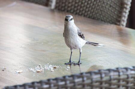 rostratus: Tropical Mockingbird Curacao