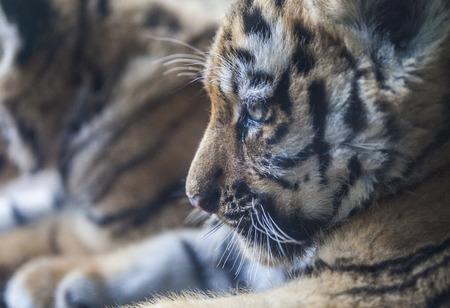 tigre cachorro: Cachorro de tigre (Panthera tigris)