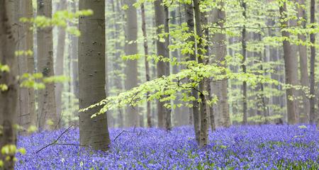 Bluebells Tranendal teardrop valley Hallerbos Belgium