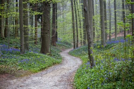 A path in a bluebell forest Tranendal teardrop valley Hallerbos Belgium