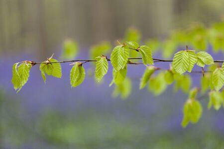 bluebell: Beech leaf in Bluebell forest Bluebell Belgium Stock Photo