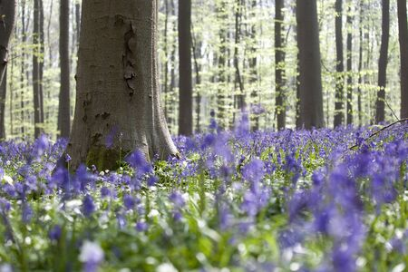 Bluebells in beech forest Tranendal teardrop valley Hallerbos Belgium