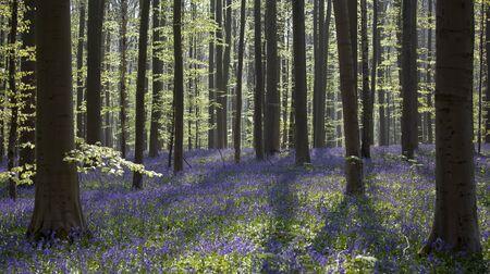 teardrop: Bluebells Tranendal teardrop valley Hallerbos Belgium