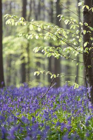teardrop: Bluebells in beech forest Tranendal teardrop valley Hallerbos Belgium