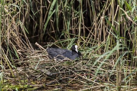 endothermic: Coot Fulica agra on nest with young Biesbosch National Park the Netherlands