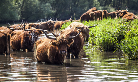 Stock Photo: Scottish cattle or cows water Biesbosch National Park in the Netherlands Stock Photo