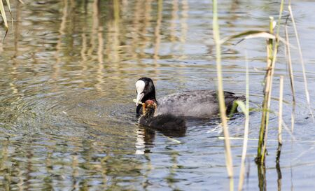 wetland conservation: Coot Fulica agra with young Biesbosch National Park the Netherlands