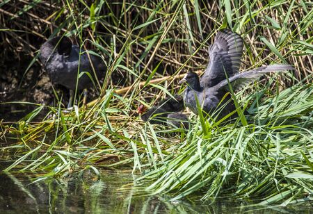 Coot Fulica agra on nest with young Biesbosch National Park the Netherlands photo