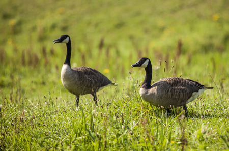 honking: Canada geese feeding and resting in the grass Biesbosch National Park Netherlands Stock Photo