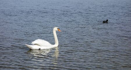 mute: Mute swan in a lake Stock Photo