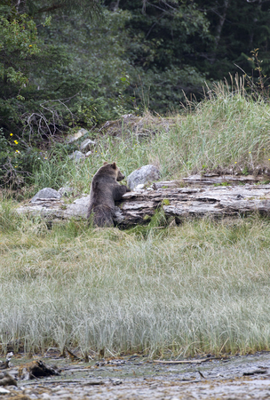 inlet: Grizzly Bear climbing, Knight Inlet, British Columbia, Canada