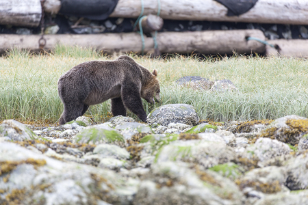 inlet: Grizzly Bear in a grassland at the coastline of Knight Inlet, British Columbia, Canada