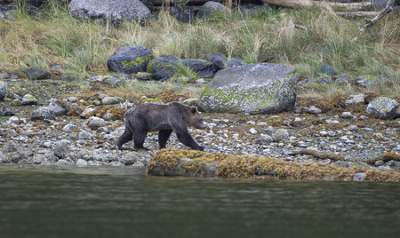 omnivores: Grizzly Bear in a grassland at the coastline of Knight Inlet, British Columbia, Canada