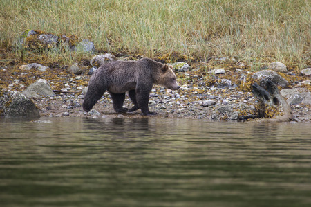 inlet: Grizzly Bear on rocks at the coastline of Knight Inlet, British Columbia, Canada