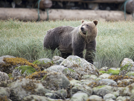 Grizzly Bear in a grassland at the coastline of Knight Inlet, British Columbia, Canada
