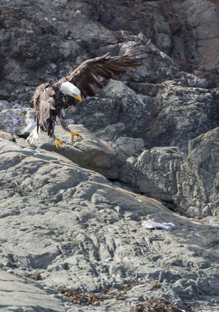 Bald eagle with a fresh Chinook Salmon on a rocky island at Johnston Strait, Vancouver Island, British Columbia, Canada